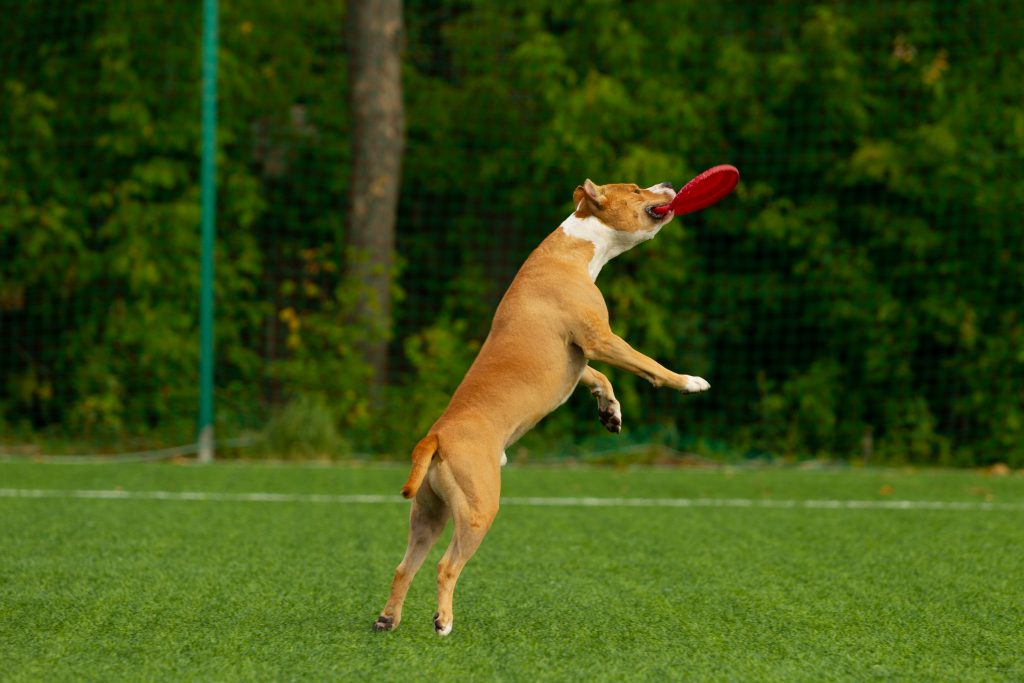 Dog catching a frisbee in the park.