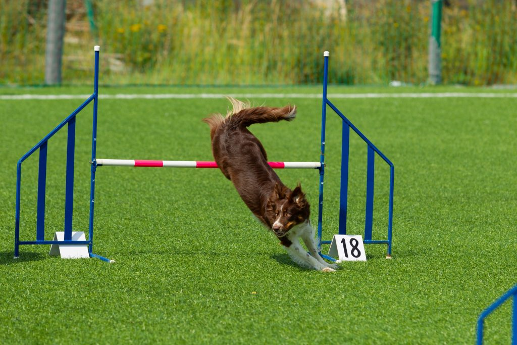 Dog going over a jump during an agilty trial.