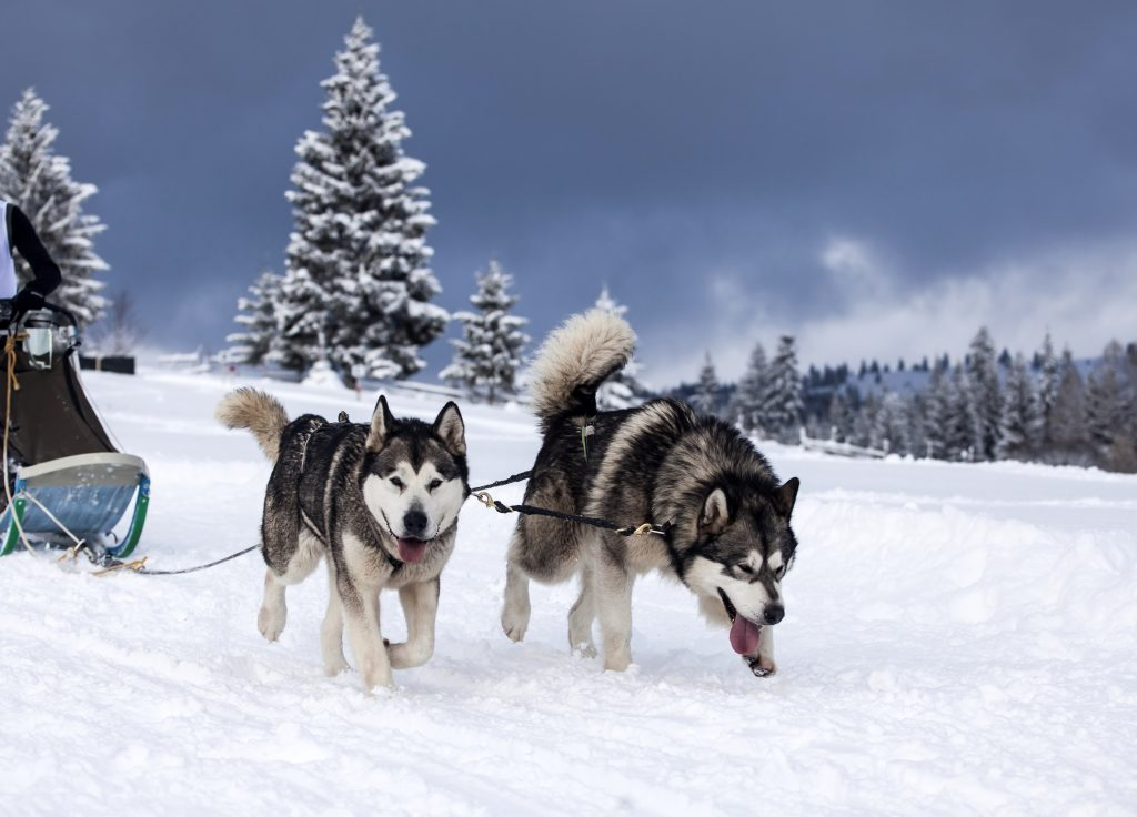Dogs in a dog sled race.
