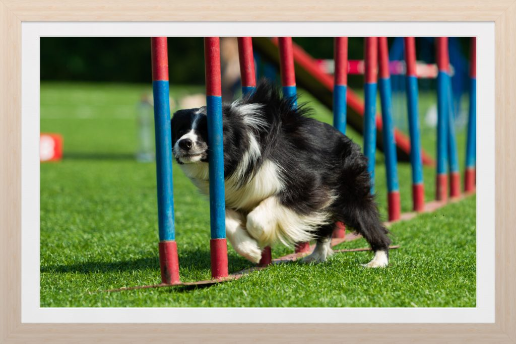 Dog running through the weave poles.